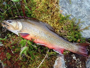 Amethyst Lakes Brook Trout