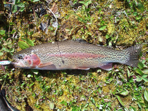 Citadel Lake Rainbow Trout