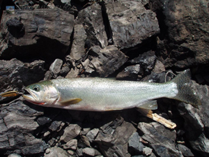 Maude Lake Cutthroat Trout