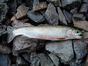 O'Brien Lake Cutthroat Trout