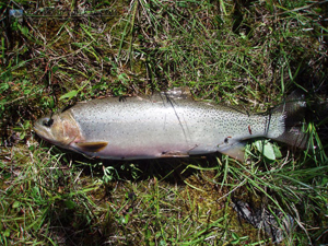 Red Deer Lakes Cutthroat Trout
